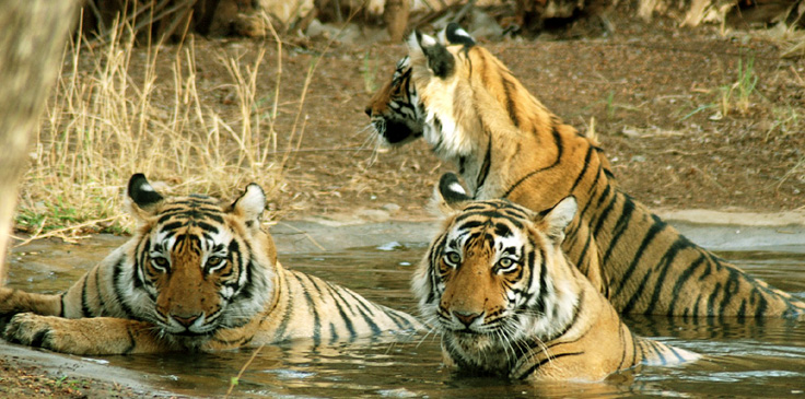 Ranthambore National Park, a world famour Tiger habitat
